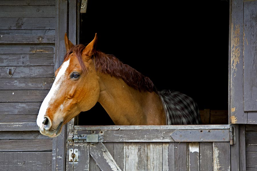 Equine Insurance - Chestnut Horse With White Muzzle Wearing a Plaid Blanket Pokes Head Out From a Weathered Gray Barn Window